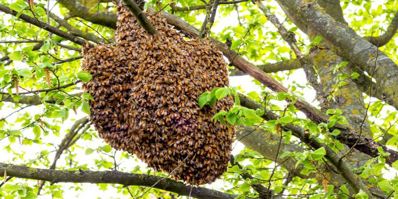 Honey bees in a tree
